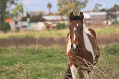 Horses free on a field in Argentina. In wintertime Royalty Free Stock Photos