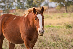 Horses free on a field in Argentina. In wintertime Stock Photography
