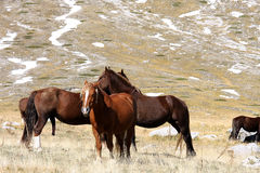 Horses in free nature, Abruzzo, Italy Royalty Free Stock Image