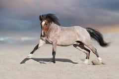 Horses free run. Bay horse run on desert dust royalty free stock image