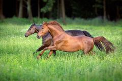 Red and bay horse free run. Horses free run in green meadow stock image