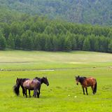 Horses on island Olkhon Stock Photos