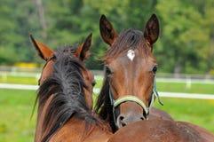 Horses friends Stock Photos