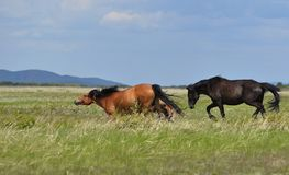 Horses frolic on a pasture. stock photography
