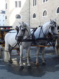 Horses in front a carriage. Two white horses in front a carriage Stock Images