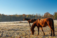 Horses on a frozen meadow. Horses on a frozen meadow in the cold morning Royalty Free Stock Photography