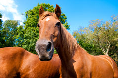 Horses with a funny face. Horses relaxing in a corral in the sunshine stock photos