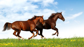 Horses gallop. Horses in a field - realistic photomontage Stock Photos