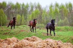 Horses gallop. Across the field in Russia Royalty Free Stock Photo