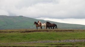 Horses gallop across the plain in Iceland. Andreev. stock footage