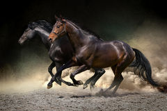 Horses gallop in desert. Two horse run gallop in dust desert Stock Photo