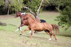Horses gallop free in meadow and have fun race