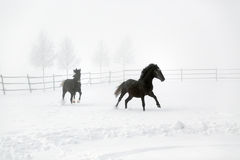 Horses gallop Royalty Free Stock Photo