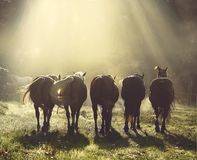 Horses gallop Royalty Free Stock Images