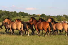 Horses galloping. In nature, full power Stock Photography
