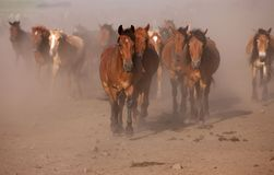 Horses Galloping Across the Dirt Stock Image