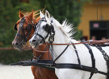 Horses galloping in beautiful leather trappings Royalty Free Stock Image
