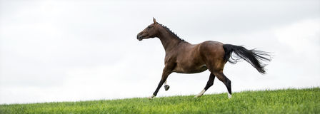 Horses galloping in a field stock photography