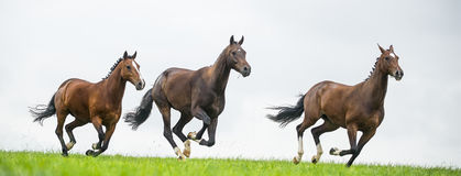 Horses galloping in a field. Against cloudy sky stock image