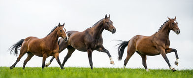 Horses galloping in a field. Against cloudy sky royalty free stock photos