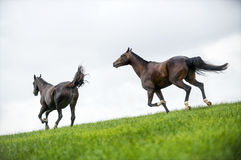 Horses galloping in a field Stock Photos