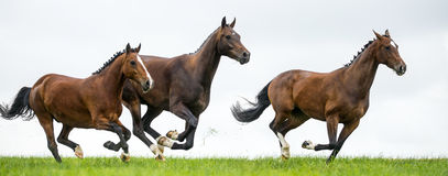 Horses galloping in a field. Against cloudy sky royalty free stock photography