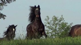 Horses galloping free on meadow stock video footage
