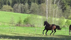 Horses galloping free on meadow stock video