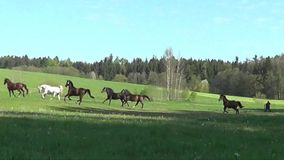 Horses galloping free on meadow stock footage