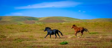 Horses galloping on the grassland royalty free stock photos