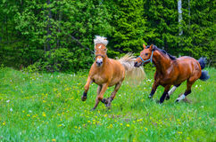 Horses galloping on green field. Brown horses running on green grass field Royalty Free Stock Photos