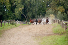 Horses galloping. On a green meadow in summer Royalty Free Stock Photos