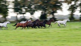 Horses galloping. On a green meadow in summer Stock Photos