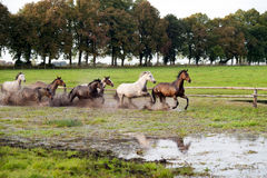Horses galloping. On a green meadow in summer Stock Photography