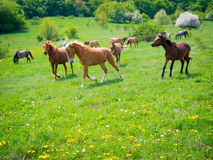 Horses galloping. Through the green pastures royalty free stock images