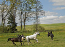 Horses galloping on the meadow Royalty Free Stock Photography