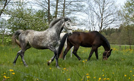 Horses galloping on the meadow Stock Photo