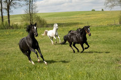 Horses galloping in the paddock Royalty Free Stock Photos