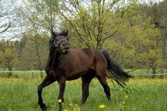 Horses galloping in the paddock Royalty Free Stock Image