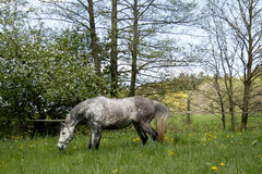 Horses galloping in the paddock Royalty Free Stock Photography