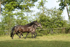 Horses galloping in the paddock Stock Image