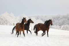 Horses are galloping on snow-covered meadow. In a deep winter Royalty Free Stock Photography