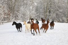 Horses are galloping on snow-covered meadow. In a deep winter stock image