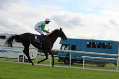Horses Galloping at York Races, England, August 2015. Stock Photos