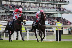 Horses Galloping at York Races, England, August 2015. Royalty Free Stock Images