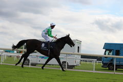 Horses Galloping at York Races, England, August 2015. Stock Image