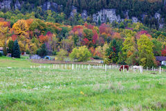 Horses gazing in fall colors of Niagara escarpment Royalty Free Stock Photo
