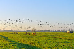 Horses and geese Royalty Free Stock Photo