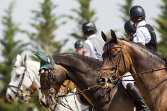 Horses getting ready in line for the competition matches riding Stock Images