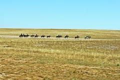 Horses in the glassland Royalty Free Stock Image